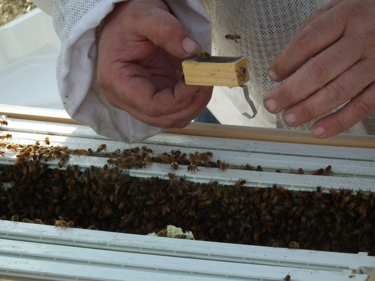 Grand Island bees and queen